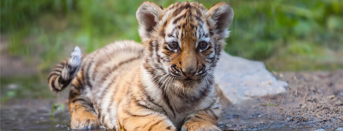 Cincinnati Zoo Calls in Chiropractor for Malayan Tiger Cub